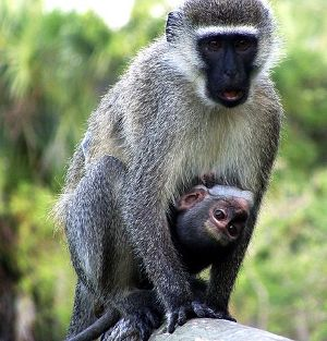 Vervet and child